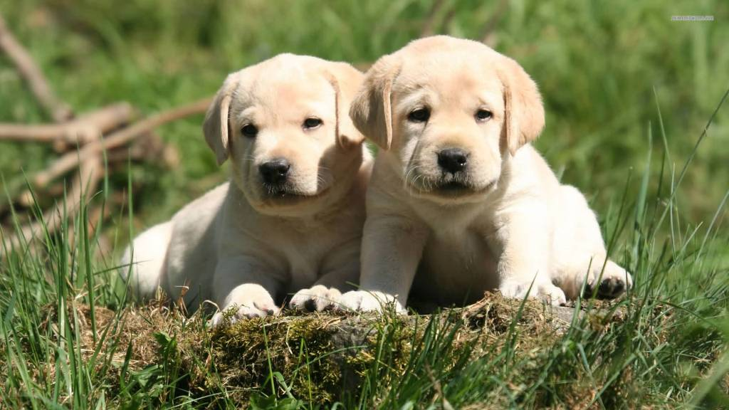 Best Friend White Labrador Retriever Dog Wallpaper