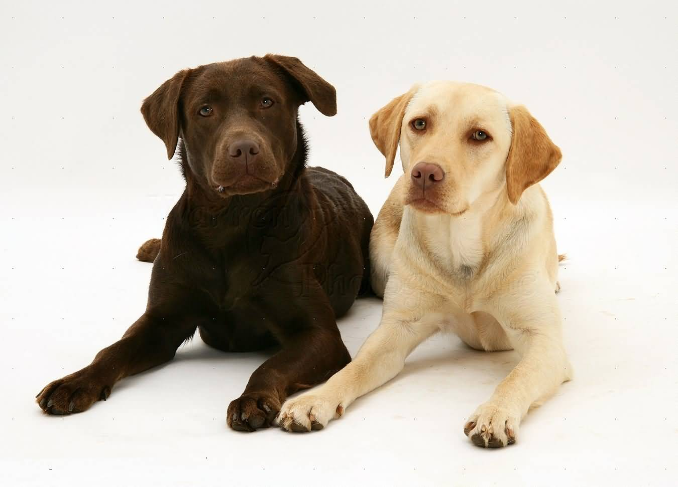 Chocolaty And White Labrador Retriever Dog Photo