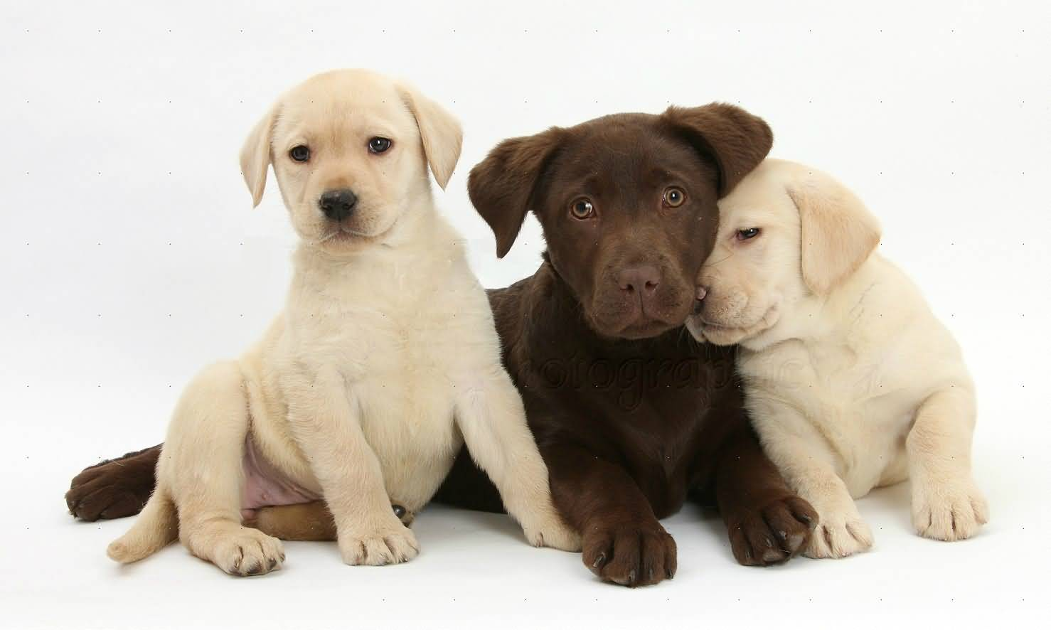 Cute White And Chocolaty Labrador Retriever Dog Pups