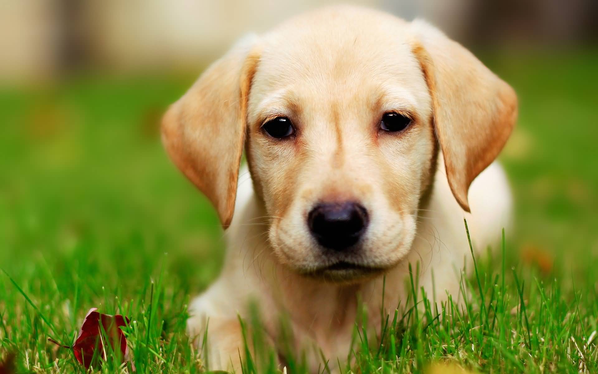 Cute White Labrador Retriever Pup In Grass