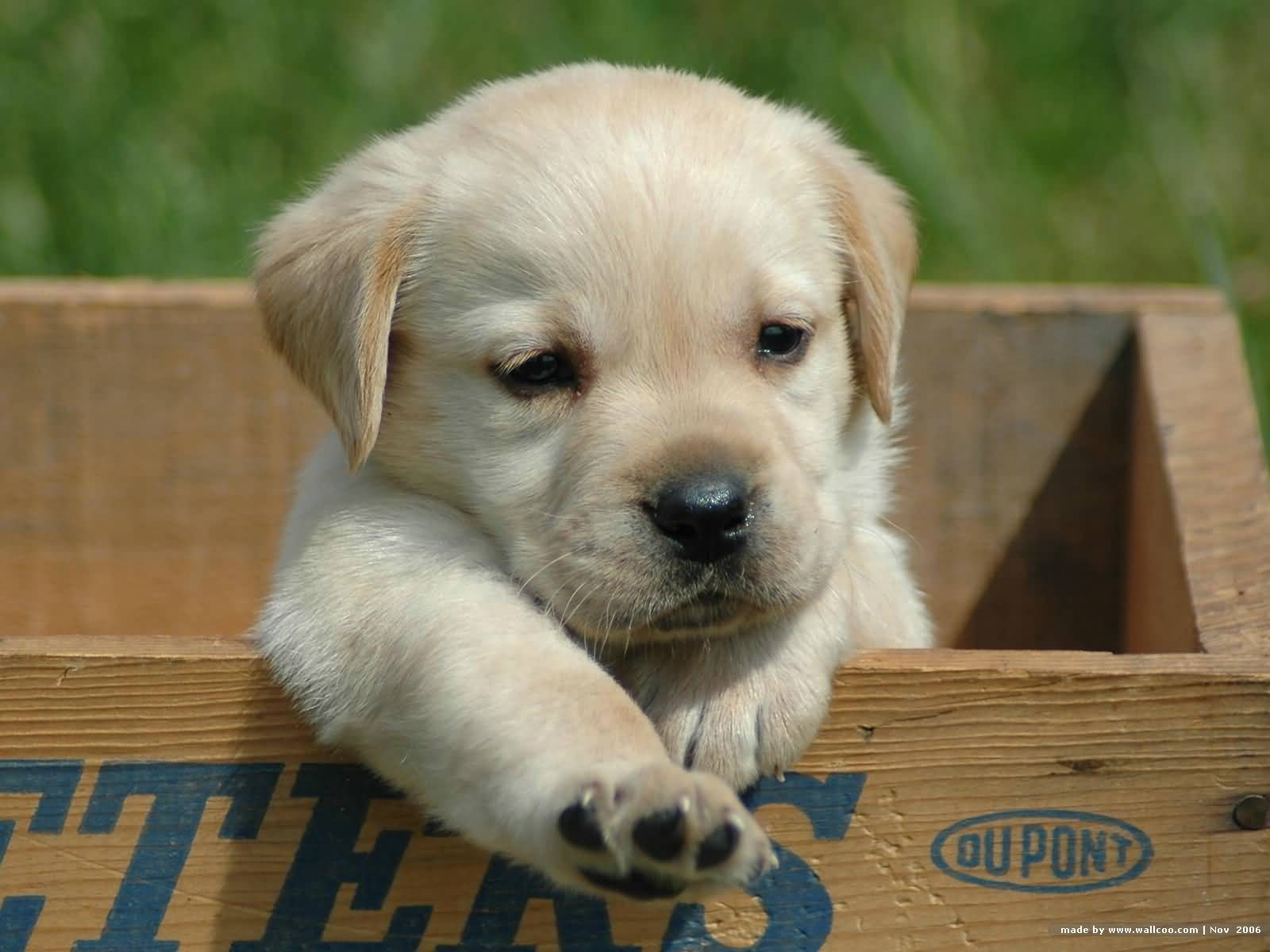 Cute White Labrador Retriever Pup Playing In Box
