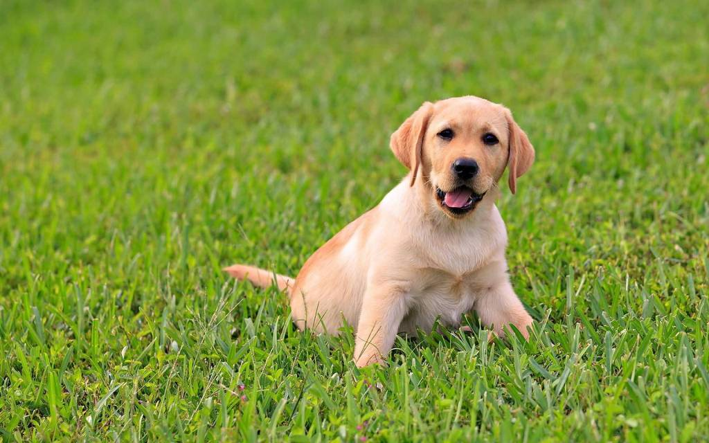 Funny Labrador Retriever Dog Face Playing In Grass