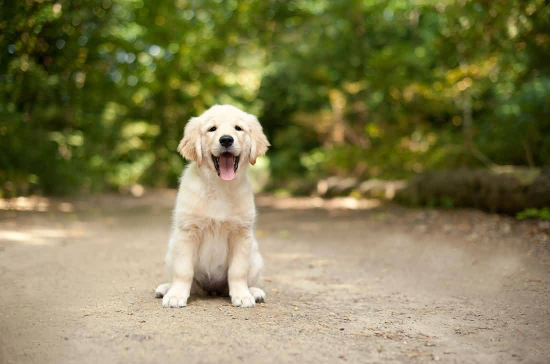 Laughing Cute Labrador Retriever Pup On Road