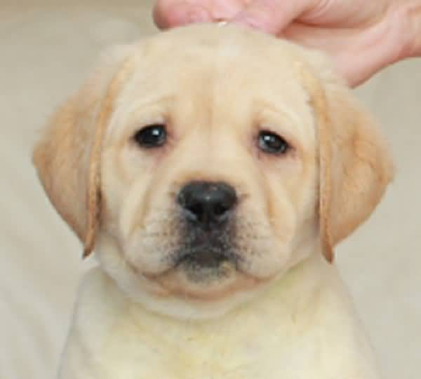 Milky White Cute Labrador Retriever Pup Pic
