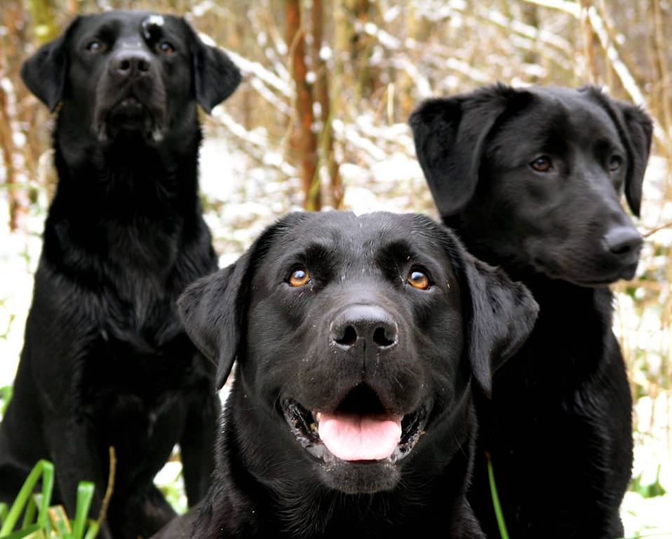 Naughty Black Labrador Retriever Dog Picture