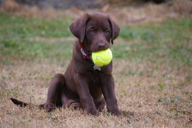 Naughty Chocolaty Labrador Retriever Dog Playing With Ball