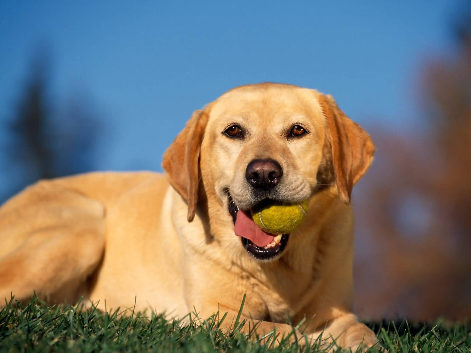 Naughty Labrador Retriever Dog Playing With Ball