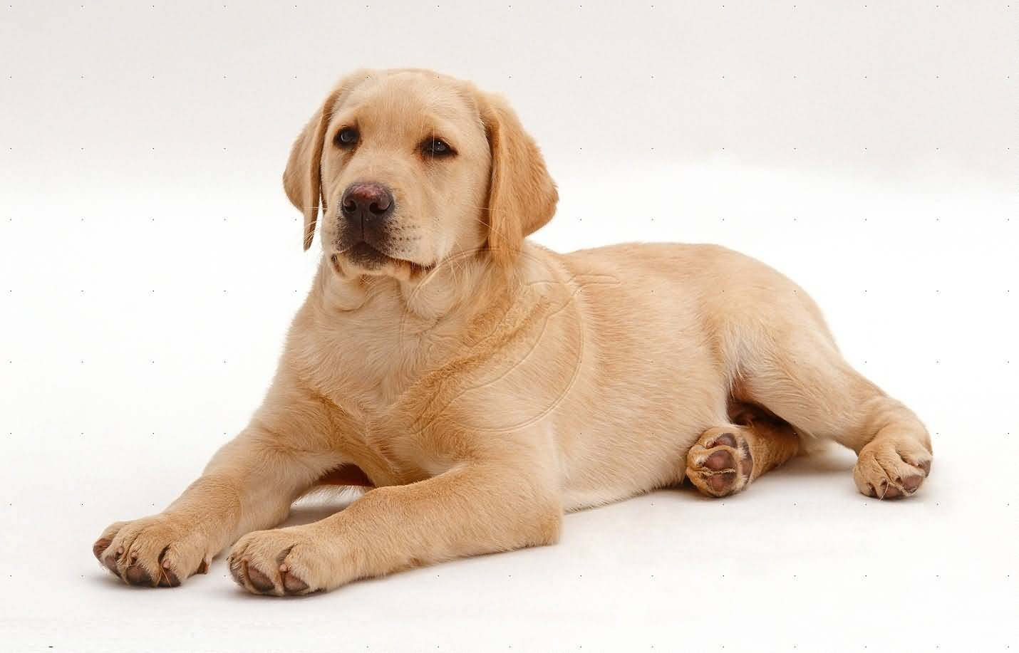 Pure Golden Sitting Labrador Retriever Dog Photo