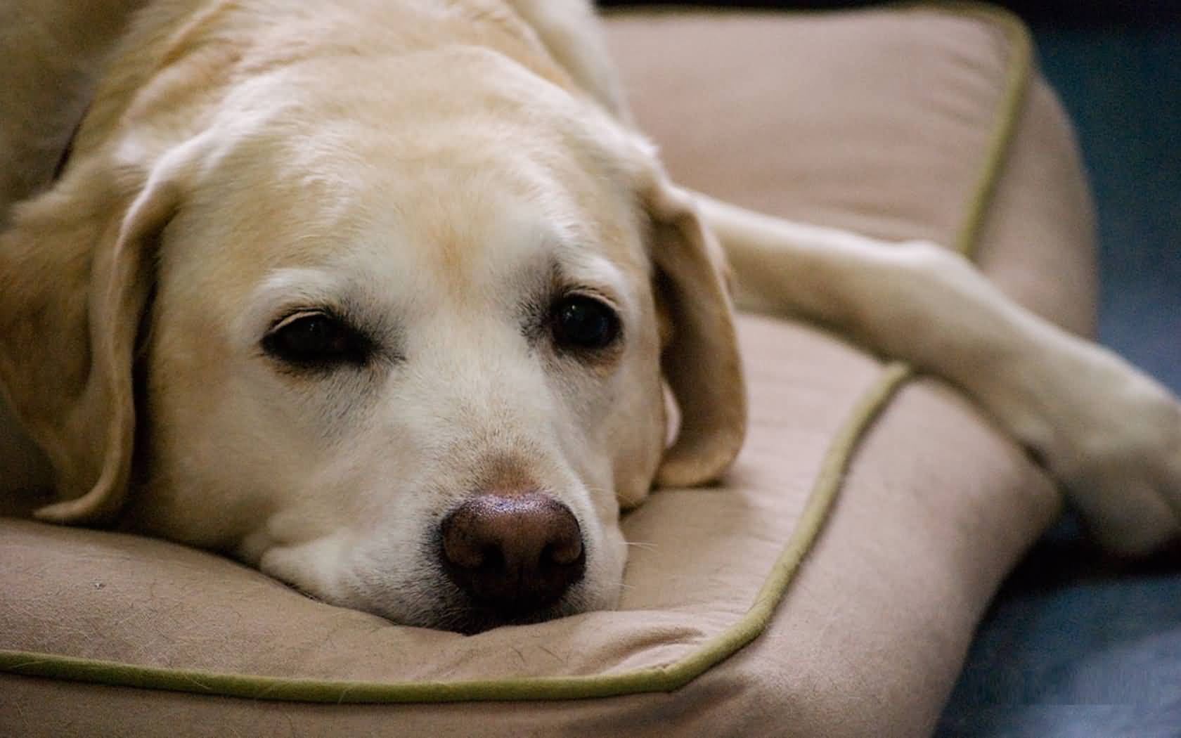 Pure White Sad Labrador Retriever Dog