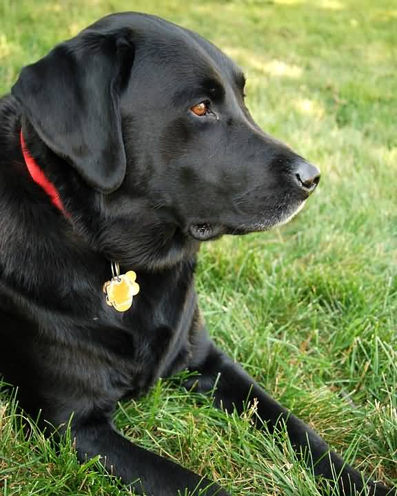 Sad Black Labrador Retriever Dog Sitting In Grass