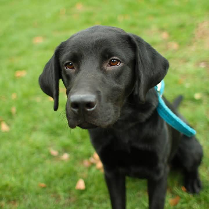 Sad Black Labrador Retriever Dog Sitting On Grass