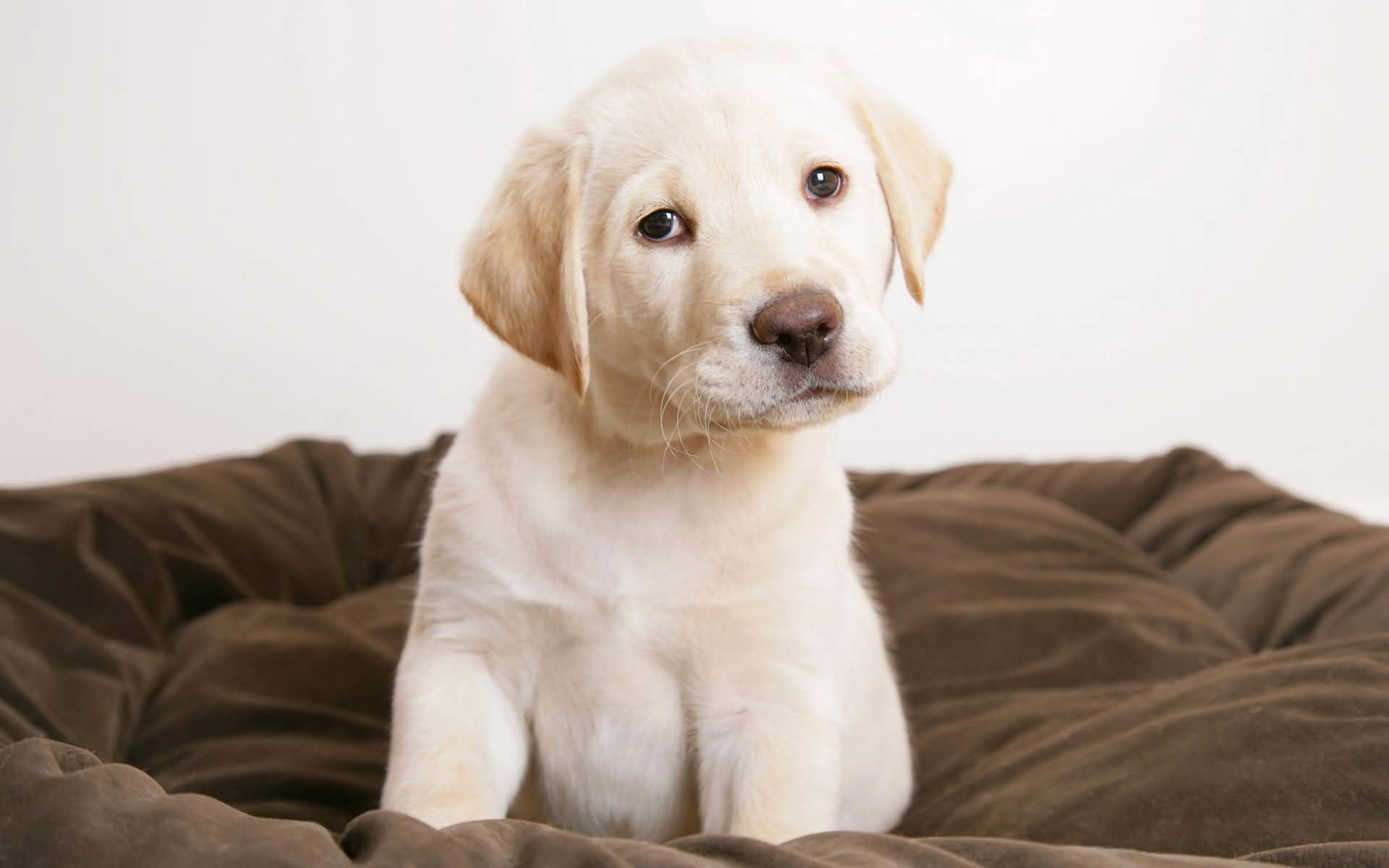 Sad White Labrador Retriever Dog Playing On Bed