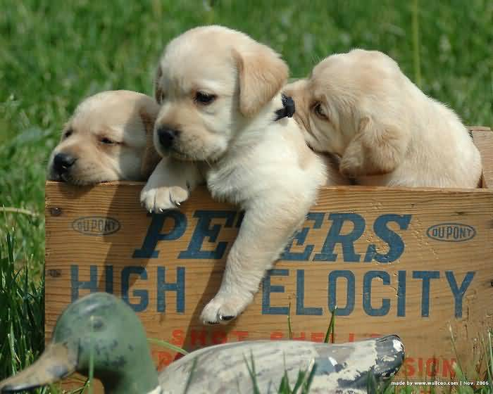 White Labrador Retriever Pups Playing In Wooden Box